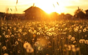 7008102-dandelion-field-sunset